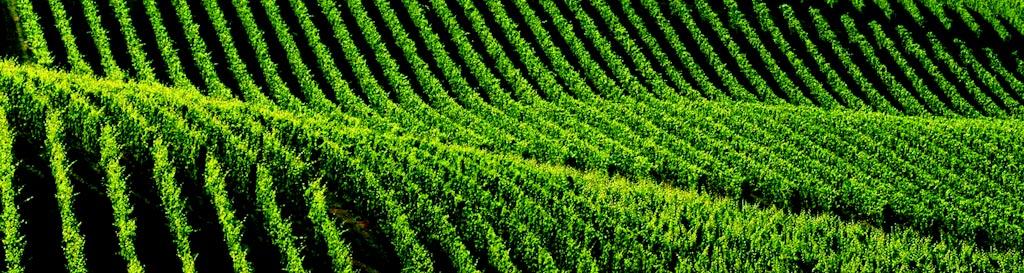 UNESCO – ランゲ・ロエロ・モンフェッラート ワイン畑の風景